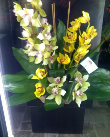 Supreme Cymbidiums