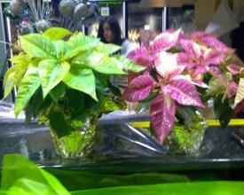 Glittering Poinsettias