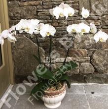 Triple White Orchid
