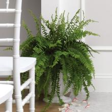 Boston Fern Urn